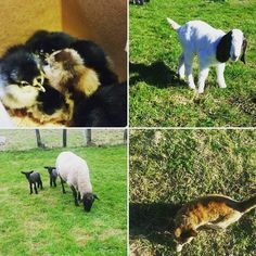 """""""Spring Time! Needing dry weather but it is what it is. Start on the sisters market projects next month for her last show season! Then it's up to the cousins to show for the family name! Generation after generation it shall continue! #spring16 #chicks #lambs # kids #showtime #farmtofork"""" @charlie_p_hall"""