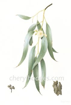 Limited edition Giclee print of Eucalyptus tereticornis or Forest Redgum