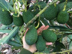 Hass Avocados Fruit