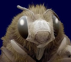 A coloured scanning electron micrograph of the head of a honey bee (Apis sp.)