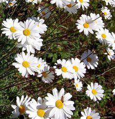 Heverő szárú, alacsony szőnyeget képező sziklakerti évelő növény. Nyáron díszlenek a sárga közepű, fehér fészekvirágzatai.