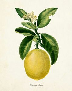 lemon botanical