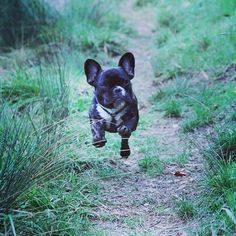French Bulldogs, Make Me Smile, Pugs, Boston Terrier, Puppies, Running, Nature, Baby, Animals