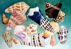 Cone Shells of the Seychelles  45x60cm. watercolor