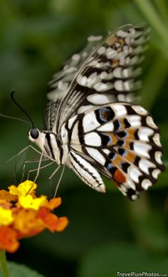 Lime Swallowtail Butterfly - Bridgetown, England