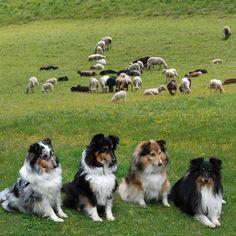 True Shetland SHEEPdogs!