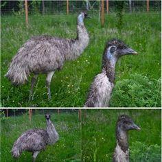 Emus on the farm