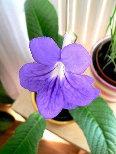 Streptokarpus | Tořivka | Streptocarpus : návod k pěstování, požadavky na světlo, hnojení, vlhkost, množení a zalévání