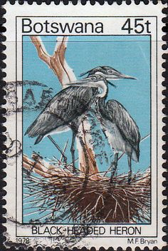 Botswana, 1978. Black-Headed Heron. The Black-Headed Heron (Ardea melanocephala) is a wading bird of the heron family Ardeidae, common throughout much of sub-Saharan Africa and Madagascar. It is mainly resident, but some west African birds move further north in the rainy season.