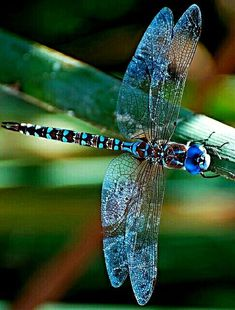 LibelluleYou can find Dragon flies and more on our website. Dragonfly Quotes, Dragonfly Tattoo, Dragonfly Images, Dragonfly Painting, Cool Insects, Bugs And Insects, Beautiful Bugs, Beautiful Butterflies, Beautiful Pictures