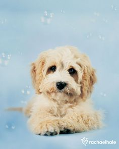 Charlie (Cavoodle) - Charlie enjoys his moment of stardom and never wants the bubble to burst.