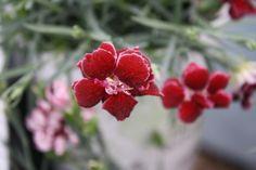 Dianthus Fruit Punch Black Cherry Wild (avail 2013)