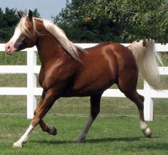 I've only seen ONE Chocolate Palomino in my life.they have got to be the most beautiful horse ever! All The Pretty Horses, Beautiful Horses, Animals Beautiful, Beautiful Places, Chestnut Horse, Brown Horse, Quarter Horses, Horse Pattern, Majestic Horse