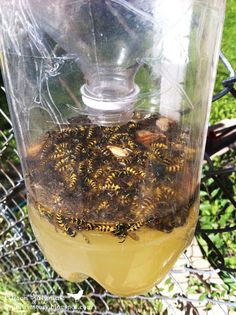 Wasp Trap, make from 2 liter bottles, place away from the area you are working or playing and they bees and wasps will go there instead of bothering you. once they go in they can't get out