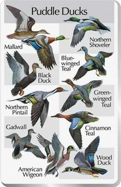 waterfowl identification chart - Google Search