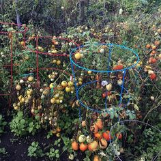 🔸🔘🔸 Certainly looks like it's harvest time at this garden plot! #tomatoes #tomatoes🍅 #kitchengarden #allotmentlove #allotment #veggiegarden #urbangardening #urbanfarming #citygarden #tomatogarden #harvest2016 #tomatoplant #tomatotime