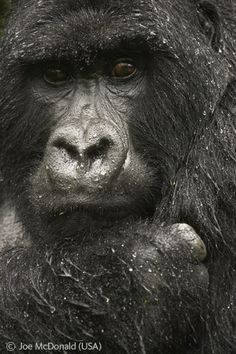 Gorilla in the rain - Joe McDonald - Wildlife Photographer of the Year 2005 : Animal Portraits - Highly Commended
