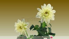 Time-lapse of Opening White Dahlia Flower.