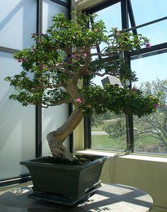 Collection of Bougainvillea Bonsai is a trees or bushes with flower-like spring leaves Bonsai Art, Bonsai Plants, Bonsai Trees, Indoor Bonsai, Indoor Plants, Indoor Gardening, Gardening Tips, Teacup Mosaic, Best Indoor Trees
