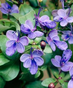 Blue Butterfly Bush - Plant  Clerodendrum ugandense     A profusely flowering patio tub plant   A really unusual patio tub plant with very special looking flowers resembling butterflies. It will appreciate being over-wintered in a frost-free environment.