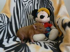"""Hampton"" - Chocolate Pocket Nano Micro Mini Piglet - SOOOOOO cute"