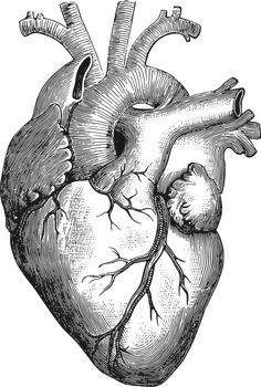 Anatomical Heart by gustavorezende - Image from a Vintage Science Book, 1884. Traced from a modified version of http://thegraphicsfairy.com/...