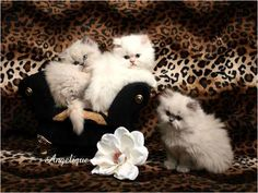 Yes...I want a Persian kitten sooo bad! and one day I will have one..and yes..I will name it Mr Tinkles :)