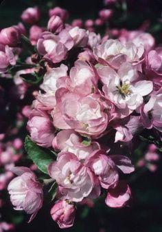 Flor de manzano Malus magdeburgensis Fotografia de John Glover, uno de los primeros y de los mas importantes fotografos de jardin del Reino Unido