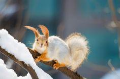 Snow ground squirrel