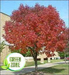 Árbol Fresno Rojo