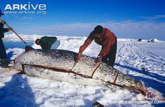 Inuit hunters cutting up caught narwhal for food - View amazing Narwhal photos - Monodon monoceros - on Arkive Art Inuit, Inuit People, Northwest Territories, First Nations, Bucky, Mother Earth, Polar Bear, Arctic, Alaska