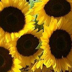 Care for a Sunflower