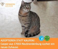 Casper kam zusammen mit seinen Geschwistern als kleines Kitten ins Tierheim und ist seitdem dort :((  http://www.tierheimhelden.de/katze/tierheim-neubrandenburg/gestromte_ekh/casper/2539-1/  Casper ist zwar neugierig, anfassen lässt er sich allerdings eher ungern. Mit einer dauerhaften Bezugsperson sieht das allerdings schon anders aus- da wird er nach einer Eingewöhnungsphase zutraulicher. Ein ruhiges Zuhause mit Freigang wäre für ihn wahrscheinlich am besten.