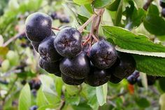 """""""Useful tips for aronia berries.every time I eat plain aronia, I am reminded, """"This is health food.Adding other, complementary flavors.like spices and herbs, will take your aronia from edible to spectacular. Aronia Berry Recipes, Aronia Melanocarpa, Summer Berries, Garden Show, Plantation, Fruit Trees, Superfoods, Shrubs, Helpful Hints"""