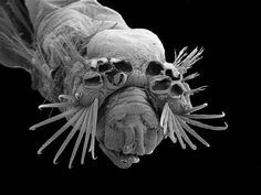 Heads-on view of a Ampicteis ninoae (bristle worm) in a SEM Cool Insects, Micro Photography, Creepy Photos, Alien Concept Art, Macro And Micro, Nature Animals, Natural History, Science Nature, Animals Beautiful