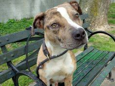 Manhattan Center BOBBY - A0965187 MALE, BR BRINDLE / WHITE, PIT BULL MIX, 10 mos STRAY This little guy is so sweet & affectionate but could stand to gain a few pounds. His leash manners are good, pulls slightly but that's his enthusiasm for life. He seems to like other dogs, his tail waving appropriately. He sits on command, takes treats nice Please help him find a home. Please click on pic for additional info on this dog