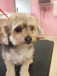 Judy: Maltese, Dog; Big Flats, NY