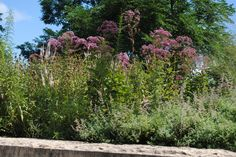 Joe-Pye-Weed, Eupatorium, is not a weed, but is pretty with its purple flower clusters in August- Sept and makes a better butterfly plant than the Butterflybush from China.