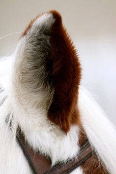 Unusual horse photography of a horses fuzzy ear. Paint colored horse and clean pretty ear soft fluffy coat! I want to pet it!