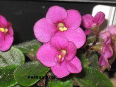 African Violet live plant PERK UP TRAIL by Shantiyarnandknits, $2.75