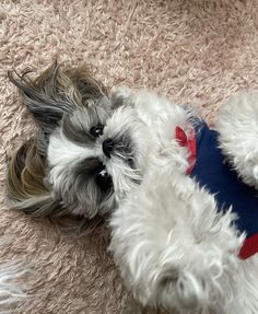 Best Dog Breeds, Best Dogs, Chien Shih Tzu, Shiz Tzu, Watercolor Sketchbook, Shih Tzu Mix, Doggy Stuff, Mixed Breed, Dog Grooming