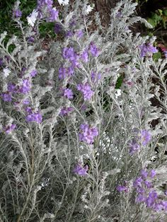 Eremophila nivea. It has the most velvety silver leaves and the prettiest mauve flowers. An Australian native.