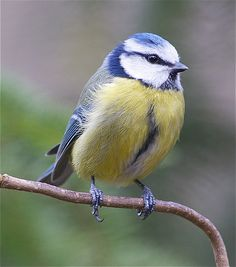 Blue Tit 1...oh wow, so detailed. love to see the feathers and little feet!!!