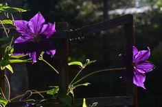 Viola  kärhöt