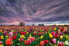 Mooie wolkenlucht boven de tulpenvelden