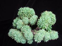 Echeveria 'Ramillete' crested form by Zusung, via Flickr