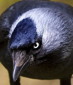 Jackdaw Totem - Wicca Online Community For Pagans and Wiccans I Like Birds, Little Birds, Choucas Des Tours, Jackdaw, Macabre Art, Crows Ravens, Rabe, Big Bird, Sea Birds