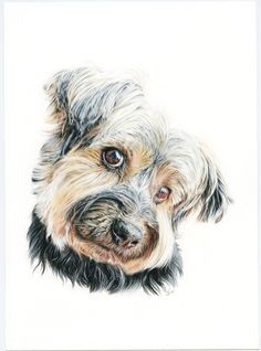 Yorkshire terrier. Illustration pencil. Ilustración lápiz. Dog portrait Yorkshire Terrier, Pencil Art Drawings, Fox, Illustration, Pepper, Ideas, Drawings Of Dogs, Portraits, Animales