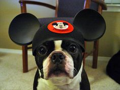 Boston Terrier with Mickey ears. Ready to ride Space Mountain!