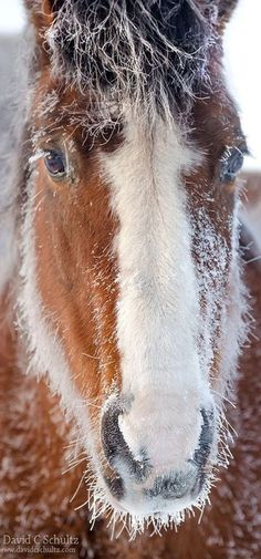 A Chill in the Air by David C. Schultz - Horse with a snowy beard :)